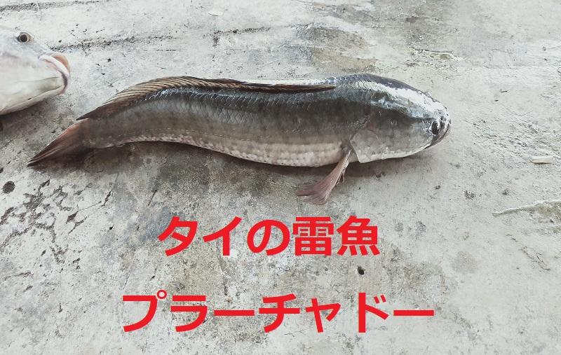 タイの雷魚
