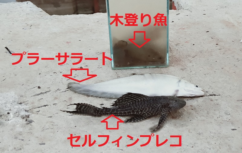 タイの淡水魚