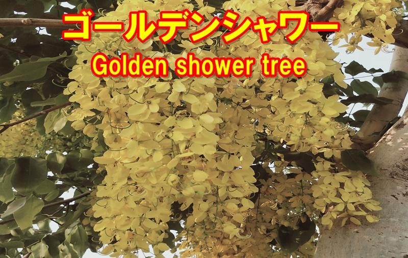 ゴールデンシャワーの花
