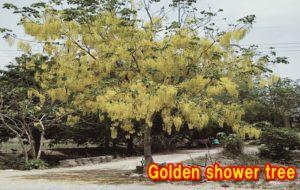 ゴールデンシャワーの木